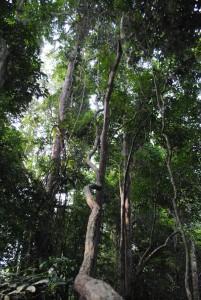 Taman Negara Tree