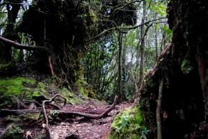 Mossy Forest Cameron Highlands Landscape
