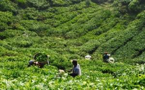 tea pickers at Boh Tea Plantation, Cameron Highlands, Malaysia