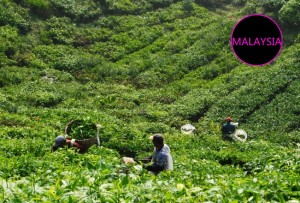 boh tea plantation cameron highlands workers in field